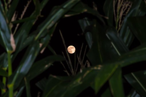 Moon, Corn, Leaves, Foreground, Rising, East, Green