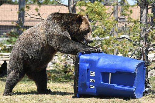 Bear, Trash, Grizzly