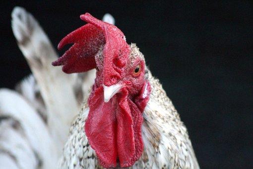 Cock, Bird, Scallop, Head, Beak, Eye, Red, Poultry