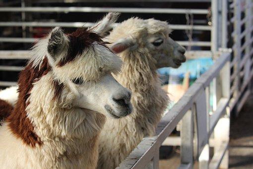 Animal, Alpaca, Hair, Fur, Wool, Llama, Farm, Head