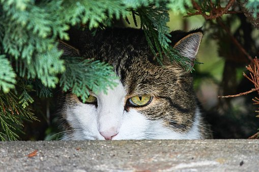 Cat, Hidden, Watch, Lurking, On The Lurking, Pet