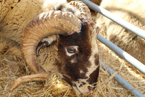 Goat, Horns, Animals, Animal Husbandry, Zoo, Ruminant