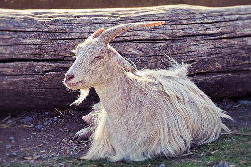 Animal, Goat, Horns, Domestic Goat, Mammal, Ruminant