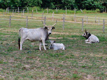 Hungarian Grey Cattle, Farm Animals, Ancient Breed