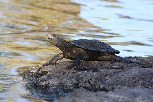 Turtle, Long-necked, Water, Lake, Reptile, Animal
