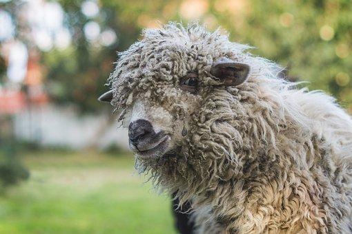 Sheep, White, White Sheep, Lamb, Nature, Mammal, Farm