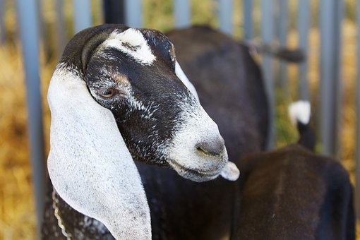 Goat, Animal, Livestock, Mammal, Farm