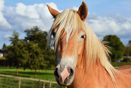 Horse, Animal, Mammal, Head, Face, Mane, Looking, Field