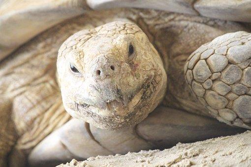 Turtle, Wildlife, Animal, Aquatic, Nature, Reptile