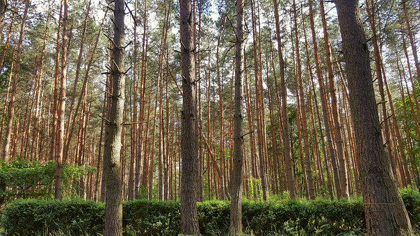 Forest, Pine, Nature