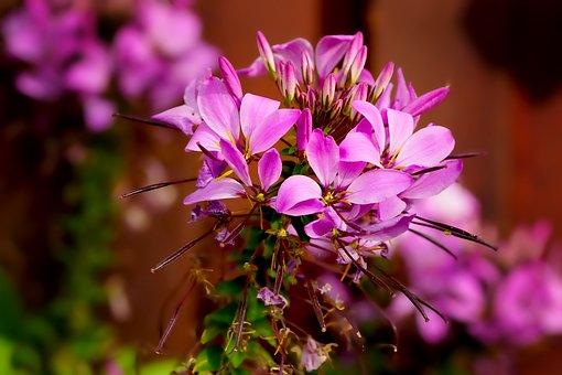 Nature, Plant, Spider Flower, Flowers, Garden, Summer