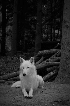 Wolf, White Wolf, Mammal, Nature, Animal World