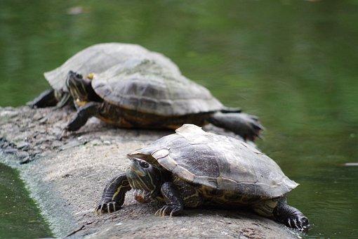 Turtle, Water, Aquatic Animal, Animal, Nature, Swim