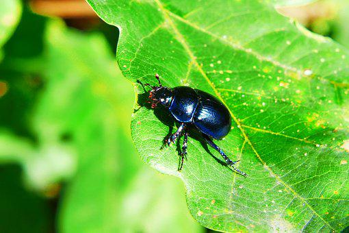 Forest Beetle, Insect, The Beetles, Oak Leaf, Animals