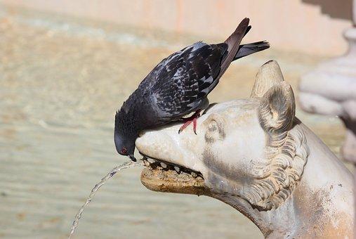 Pigeon, Thirst, Water, Gush, Fontana