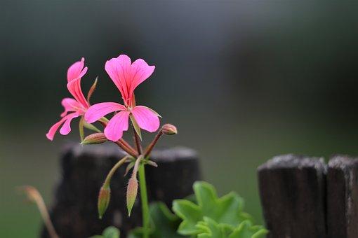 Pink Flower, Pelargonium, Plant, Blossom, Blooming