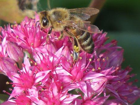 Bee, Flower, Pollination, Collect, Nectar, Pollen