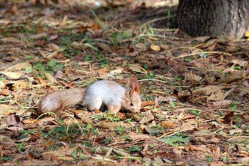 Squirrel, Red Squirrel, Autumn, Rodent, Curious, Cute