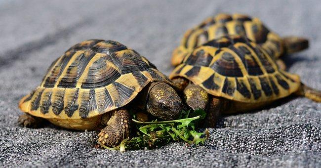 Turtles, Reptile, Animal, Tortoise Shell, Tortoise