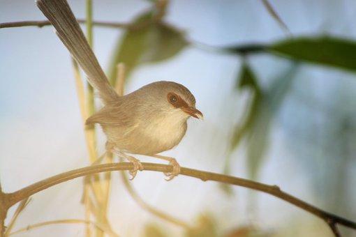 Fairy Wren, Bird, Female, Twig, Tail, Wildlife, Nature