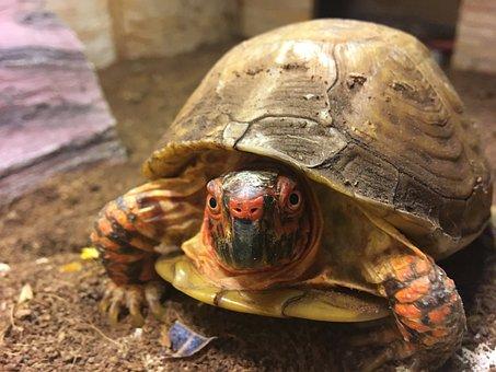 Turtle, Box Turtle, Animal, Reptile, Shell, Terrapin