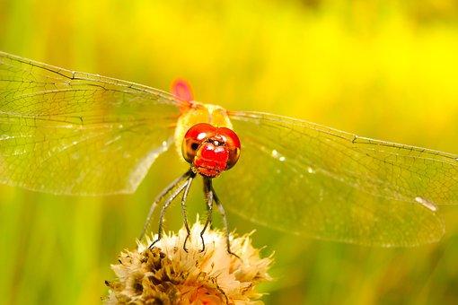 Szablak Blood, Tom, Dragonflies Różnoskrzydłe, Insect
