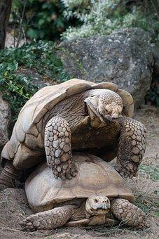 Turtle, Turtles, Mating, Poking, Zoo, Nature, Range
