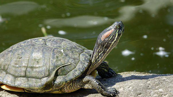 Turtle, Warms, Sun, Reptile, River, Sits, Head, Shell