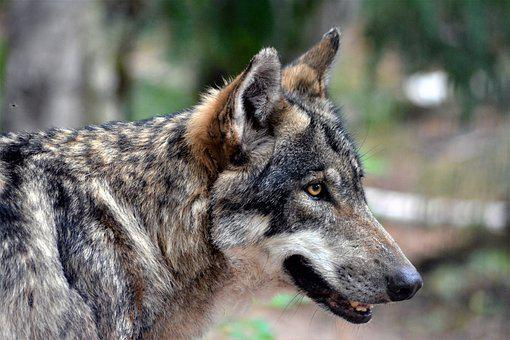 Wolf, Close Up, Nature, Raubzier, Face, Animal