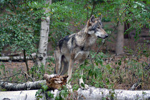 Wolf, Close Up, Forest, Nature, Animal World, Fur