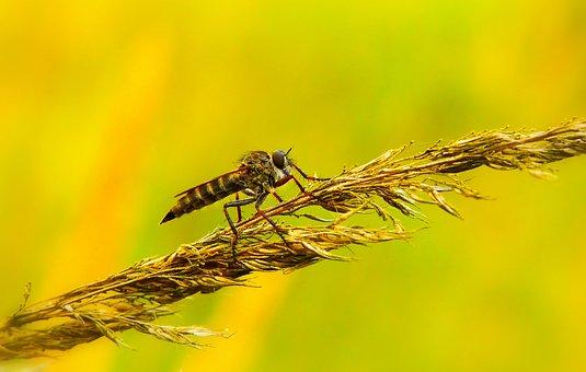 łowczak Bluish, Insect, Muchówki, Animals, Nature