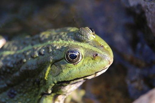 Frog, Amphibian, Animal, Nature, Green, Water Frog