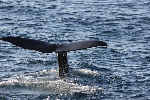 Andenes, Norway, Arctic Circle, Sperm Whale, Caudal Fin