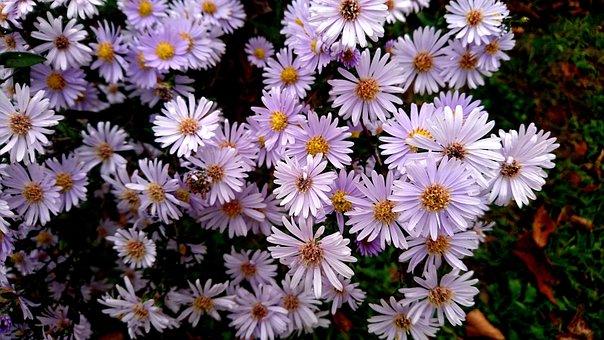 Astra, Flowers, Astra Novoblogika, Santbrink, Plant