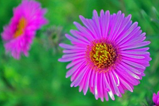 Herbstaster, Garden, Aster, Autumn, Close Up, Flowers
