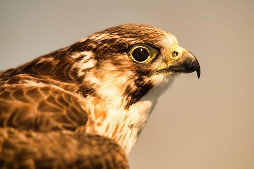 Bird Of Prey, Bill, Nature, Wild Bird