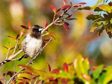 Bronze Mannikin, Bird, Nature, Sparrow, Wildlife