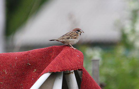 Sparrow, Carpet, Red, Sitting, Bird, Feathered Race