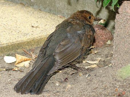 Blackbird, Songbird, Bird, Nature, Garden Bird