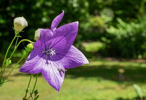 Peach Leaved Bellflower, Flower, Blossom, Bloom, Purple