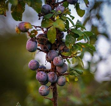 Blueberries, Purple Berry, Bush, Violet, Fruit, Growth