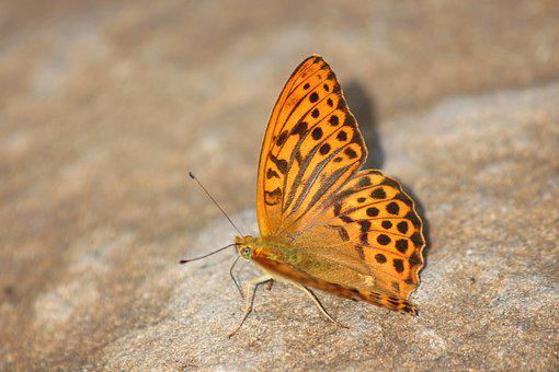 Fritillary Large, Argynnis Paphia, Butterfly
