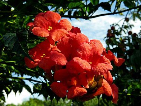 Campsis Dancing Flames, Climber Plant, Red Orange
