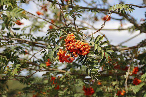 Rowan, Plant, Nature, Close Up, Berries, Tree, Red
