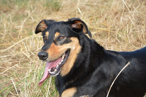 Dog, Bitch, Dog Portrait, Companion
