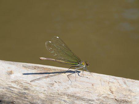 Dragonfly, Dry Wood, Running Water, Animal, Insect