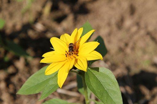 Sunflower, Mini Sunflower, Insect, Foraging, Flower