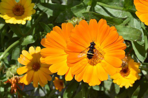 Calendula, Marigold, Flower, Insect, Pollination