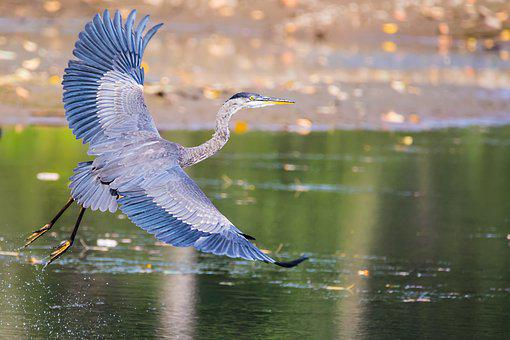 Heron, Bird, Feathers, Flying, Flight, Waterbird