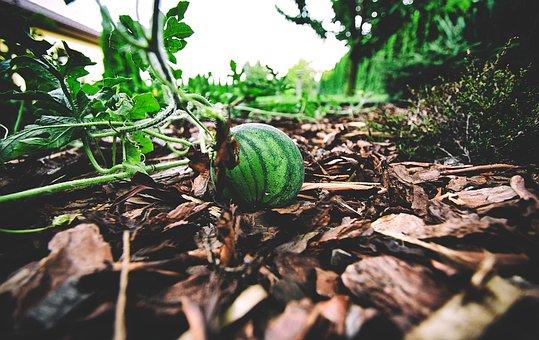 Watermelon, Fruit, Juicy, Food, Summer, The Tropical